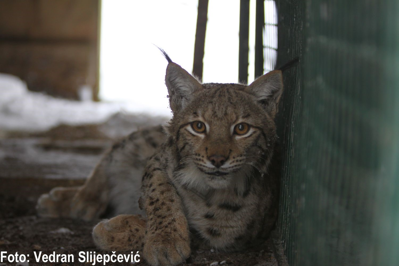 Opstanak risa u Dinaridima – započeo projekt LIFE Lynx